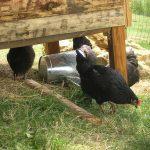 Camping Aux Mêmes poules pondeuses